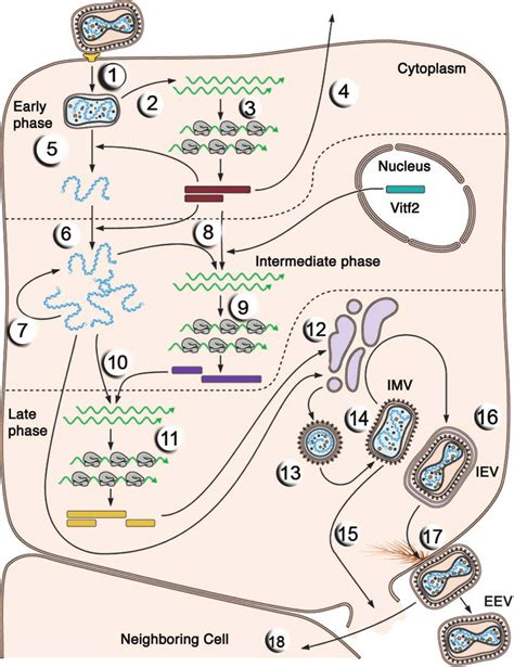 The single-cell reproductive cycle of vaccinia virus