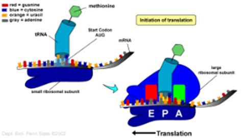 From Gene to Protein - Biol110SummerWoodward - Confluence