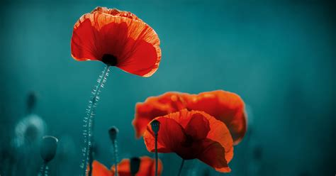 November poppies – their poignant history and interesting