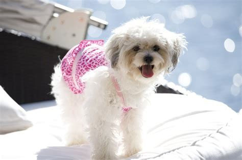 How Long Is a Dog's Menstrual Cycle? | Cuteness
