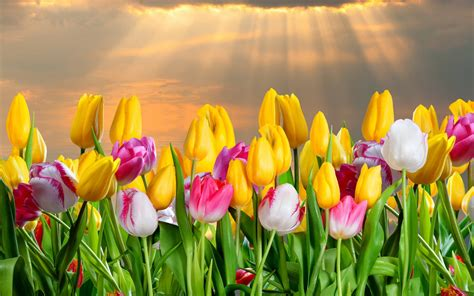 Shining Down Upon Tulips Flower HD Wallpaper - Wallpaper
