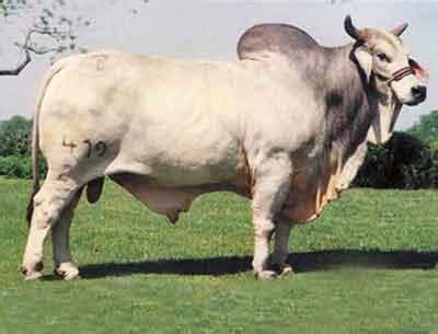 Beef Breeds at The University of Findlay - StudyBlue