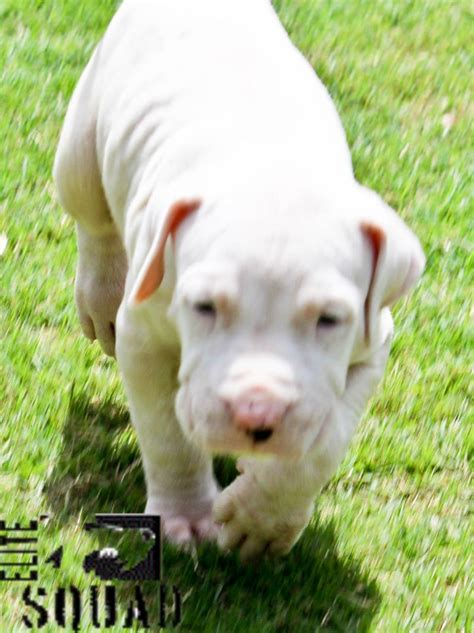 Dogo Argentino Puppies for Sale(elite squad kennel 1