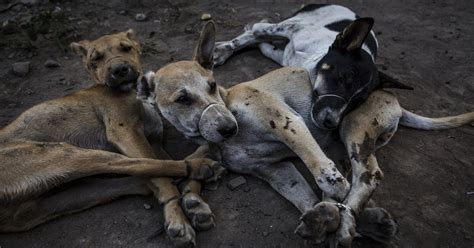 Horror of the dog meat industry where animals are strung