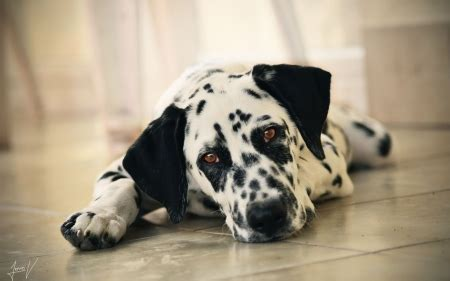 Dalmatian puppy - Dogs & Animals Background Wallpapers on