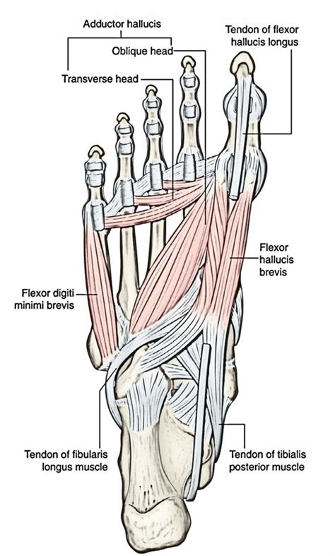 Easy Notes On 【Flexor Hallucis Brevis】Learn in Just 3