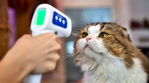 What does the COVID-19 summer surge mean for your cats and