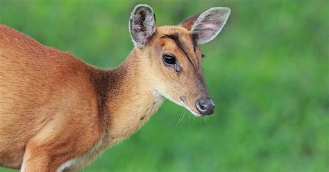 How and where to spot Muntjac Deer in Harrow, London