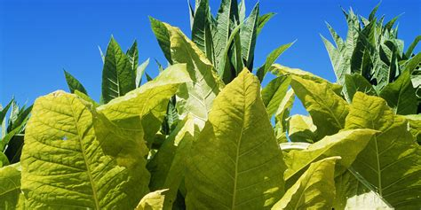 How Tobacco-Derived 'Plantibodies' Are Being Used In The
