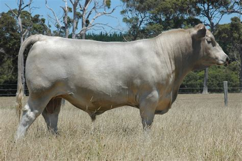 American Brown Swiss - Cow Breeds : 51 pics